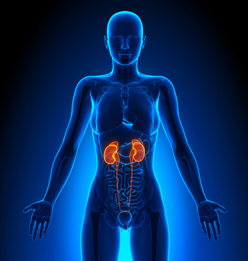 Human Female Kidney Anatomy Stock Photo 232426447