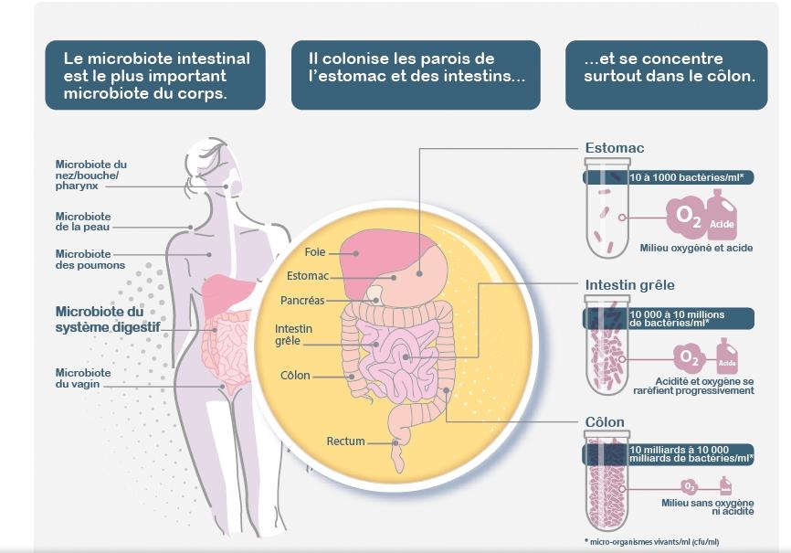 Comment fonctionne le microbiote intestinal ? ©Pixscience pour l'Inserm