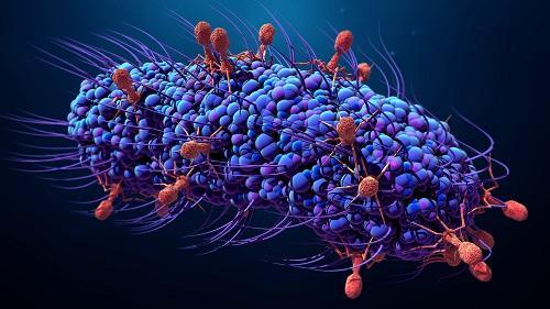 Les phages en plein action : ils infectent la bactérie pour mieux la détruire.