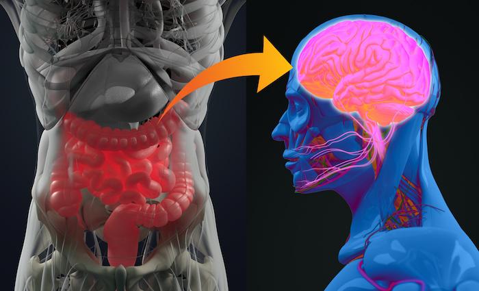 De nouveaux liens entre microbiote intestinal et dépression